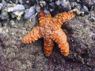 Ochre stars, starfish wasting syndrome