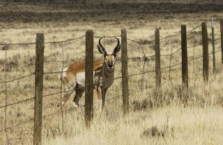 pronghorn-behind-fence-100924-02