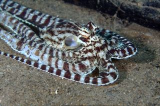 Mimicry octopus, shape-shifting animals, animal-inspired tech