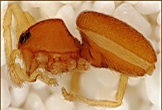 A female spider of the species Volboratella teresae.