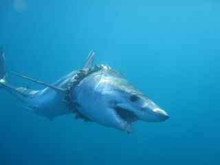 shark with plastic pollution wrapped around its neck