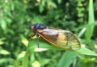 cicadas on fungal hallucinogens