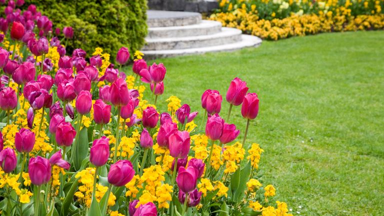spring lawn care tips: tulips around grass