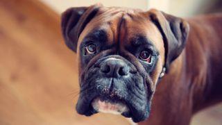 Dog depression: Sad looking Boxer dog looking at the camera