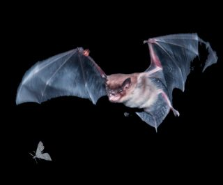 A flying brown bat maneuvers to capture prey.