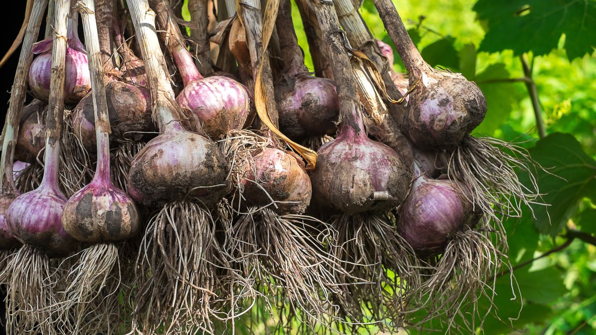 Best companion plants for garlic: herbs, flowers and veg to grow next to garlic