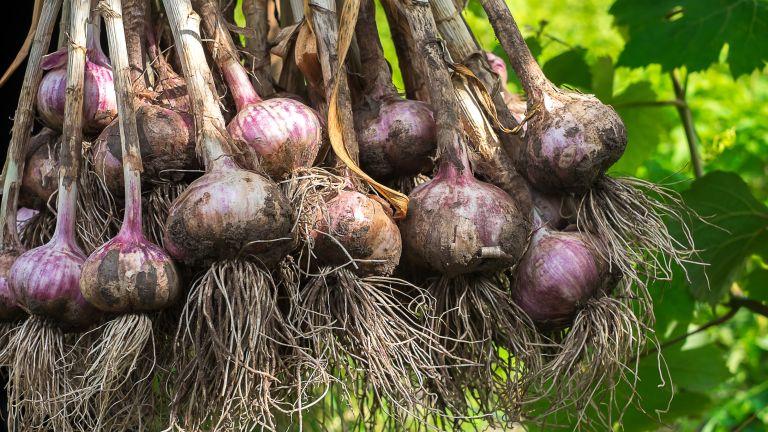 companion plants for garlic - freshly harvested garlic