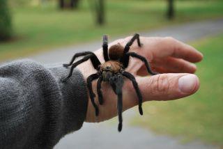 A hand holding a tarantula.