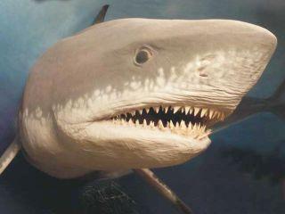A megalodon shark.