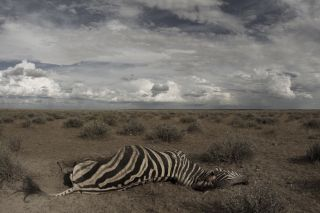 A partially scavenged zebra carcass that died after becoming infected with the anthrax bacterium in Africa.