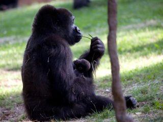 kudzoo-baby-gorilla_-1-110513