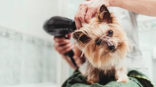 Dog grooming tips: Yorkie being dried off with hairdryer