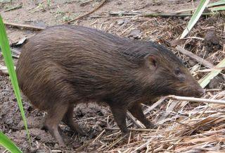 A pygmy hog.