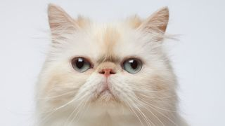 Close-up portrait of Persian cat
