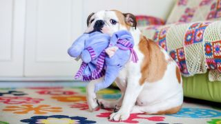 Why do dogs lick toys? Bulldog holding toy in his mouth