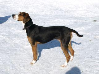 A Finnish hound.