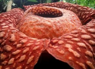"The giant orange ""corpse flower"" is in bloom for one week only. (Plug your nose.)"