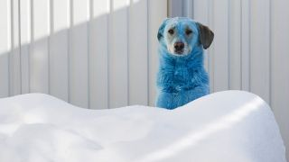 A blue dog peeking out from a snow drift