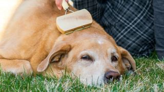 a vet's guide to brushing short-haired dogs