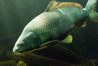 carp, invasive species, genetics