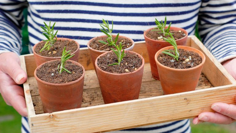 how to take cuttings from plants: cuttings in terracotta pots
