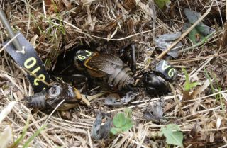 crickets at burrow showing chivalrous act by male