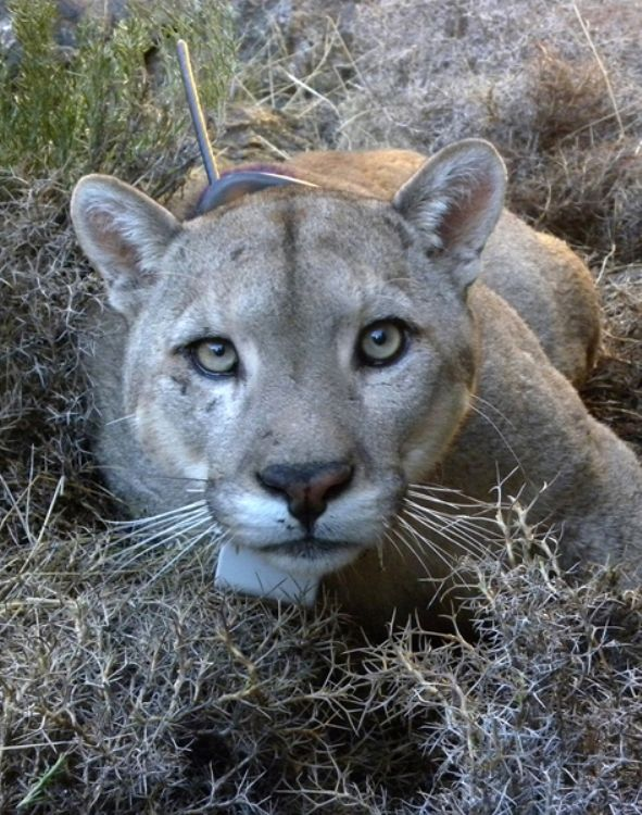 Pumas Panthers Cougars Facts About America S Big Cats Live Science