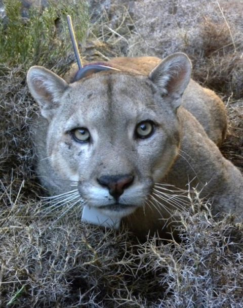 Pumas, Panthers & Cougars: Facts About America's Big Cats | Live ...