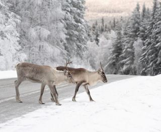 reindeer crossing a road in its natural environment in scandinavia