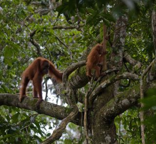 orangutans in tree