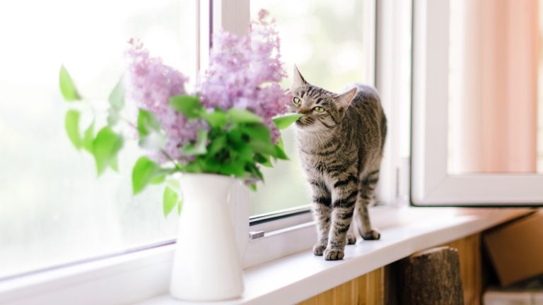 Mother's Day flower warning, A cat and a bunch of fresh lilac in a vase in rustic style