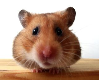 Hamster Facts: Diet, Habits & Types of Hamsters | Live Science