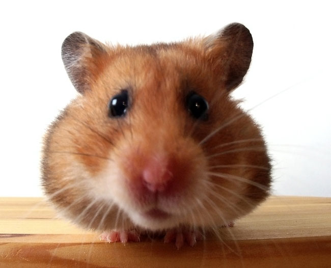 Hamster Facts Diet Habits Types Of Hamsters Live Science