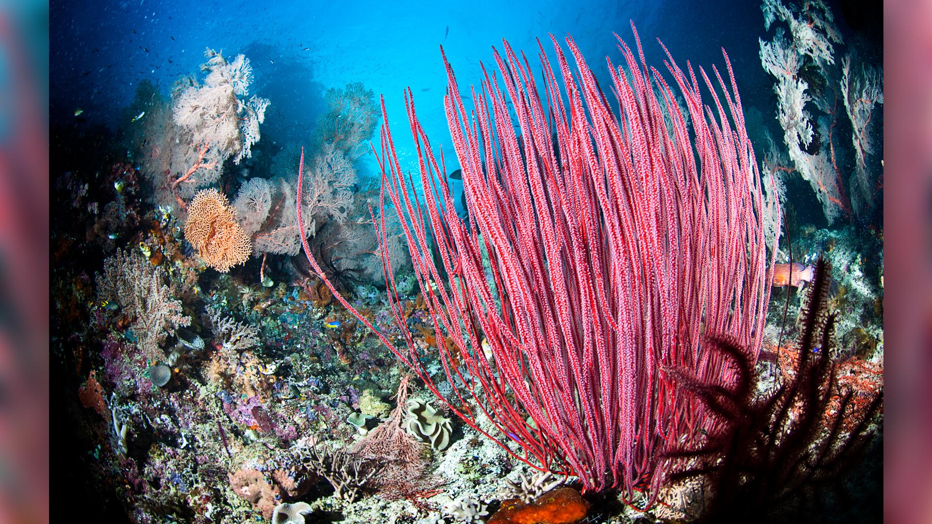 Red sea whip in a coral reef in West Papua, Indonesia.