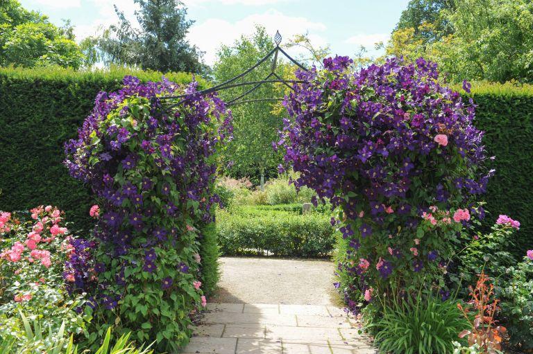 best climbing plants: clematis