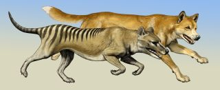 Though highly similar in their skull anatomy, specialized for a carnivorous diet, the thylacine, front, and the dingo very likely had different hunting styles. Researchers analyzing skeletons of the forelimbs found important differences