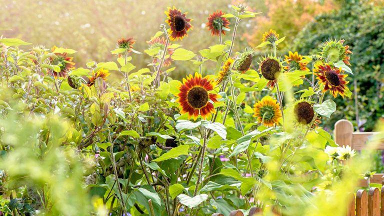 how to grow sunflowers in garden