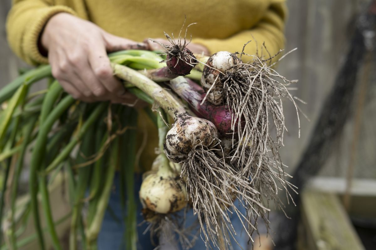 Onion companion planting – the best plants to grow alongside onions