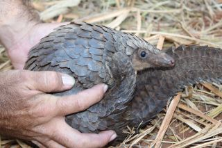 A pangolin curled into a ball