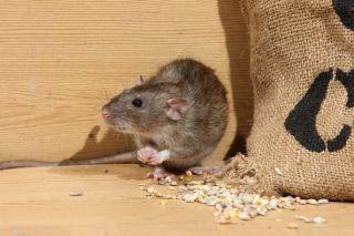 norway rat, brown rat, rat