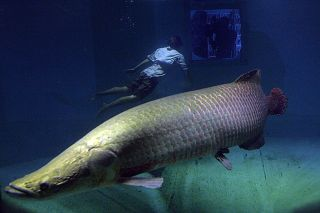 The arapaima is one of the largest fish in South America