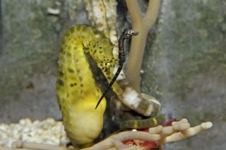 Baby and adult pot-bellied seahorses