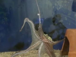 octopus arm clings to tank after amputation