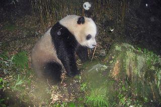 pandas, pekong university, WWF