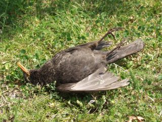 A blackbird killed by Usutu Virus