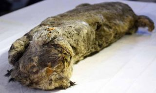 Ice age cat mummy
