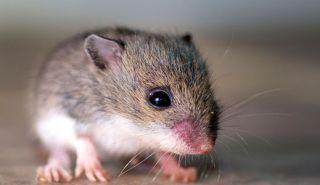 mice, memories, false memories