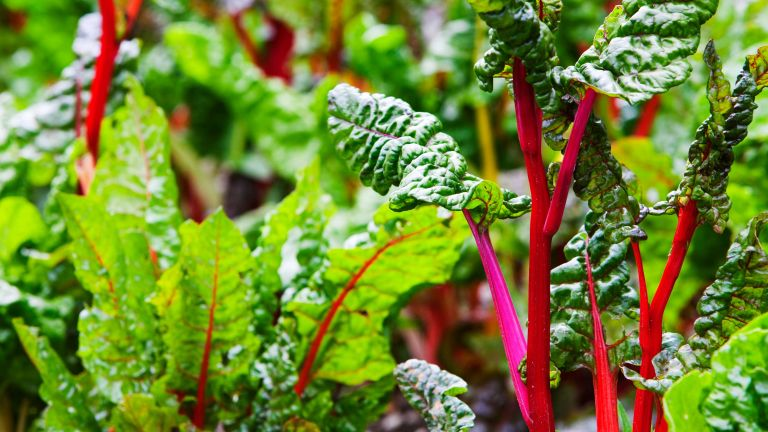 easiest vegetables to grow – colorful chard in raised bed
