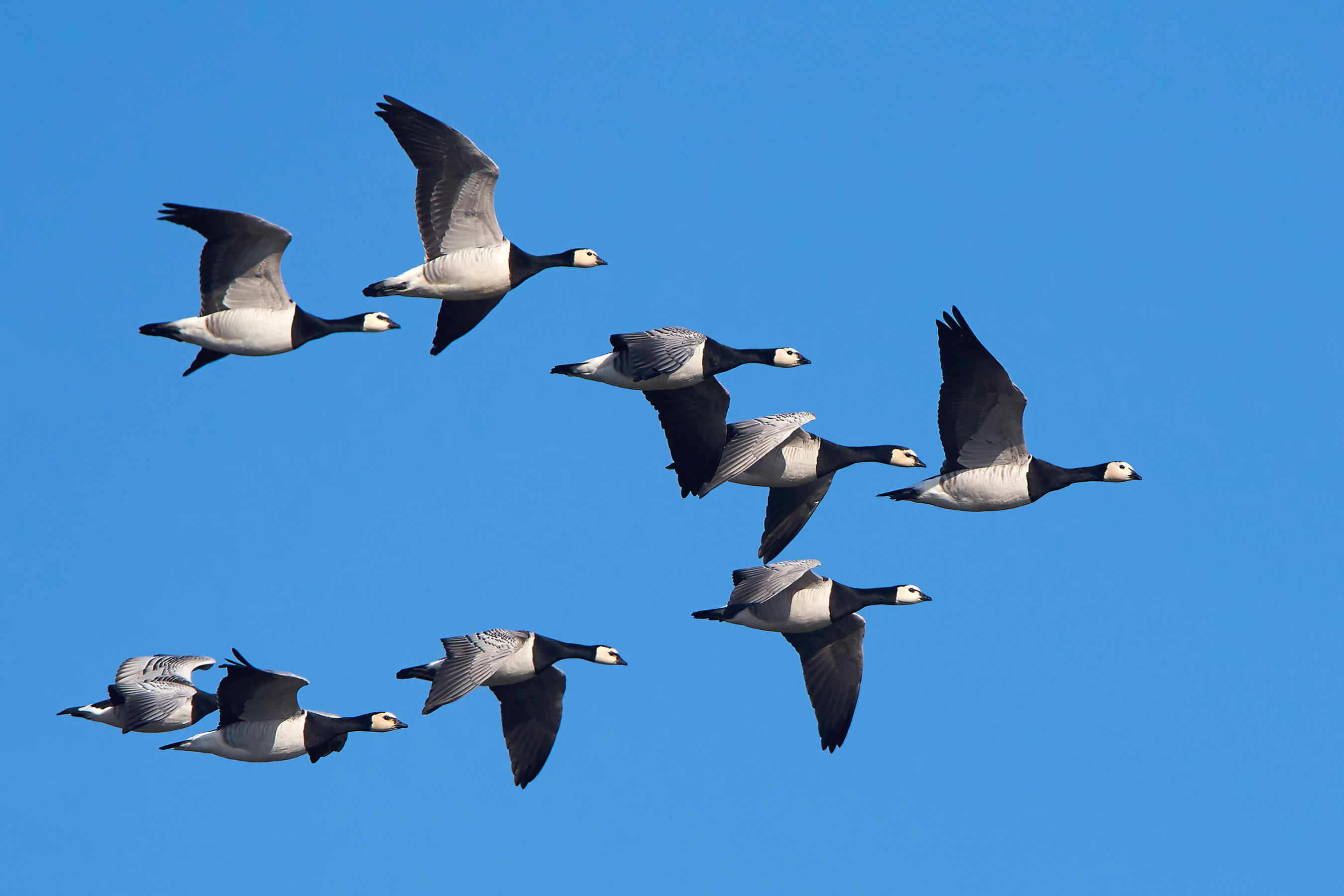 Geese Fly to Exhaustion in Race Against Climate Change | Live Science