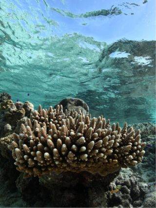Coral of Back reef of Ofu in American Samoa